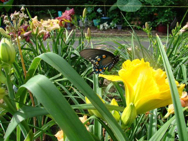 Pipevine Swallowtail butterfly on H. Shades of Havana