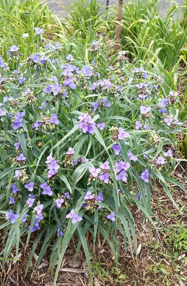 Virginia Spiderwort - 1801